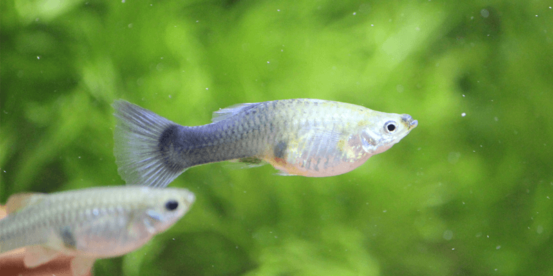 pregnant-adult-female-guppy