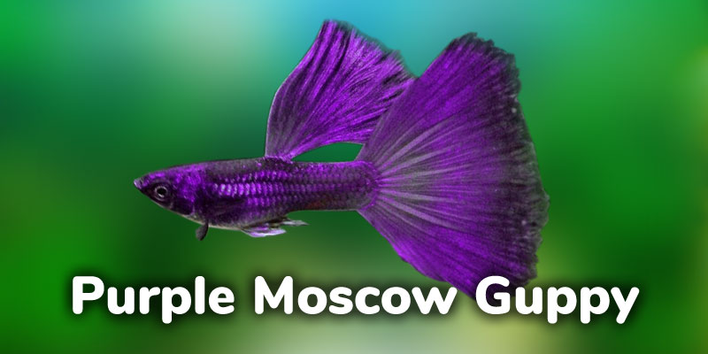 Purple Moscow Guppy