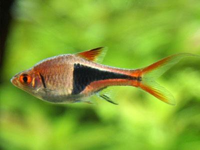 rasbora-fish