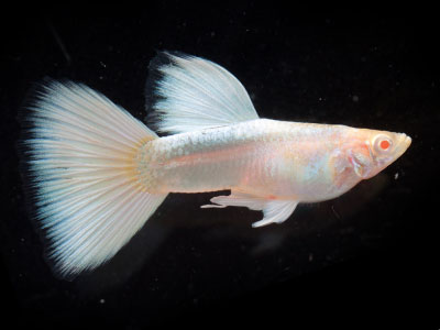 real-red-eye-albino-guppy