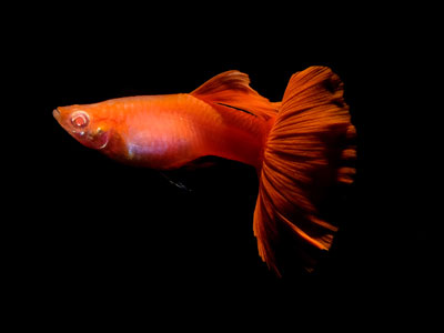 red-guppy