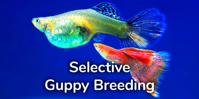 selective-guppy-breeding-guide