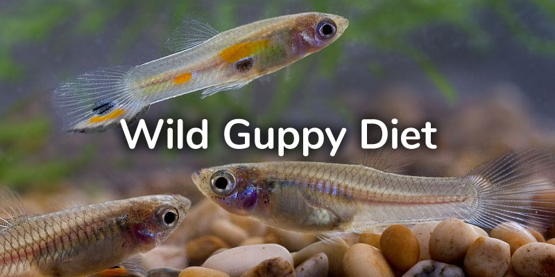 wild-guppies-diet