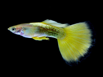 yellow-guppy