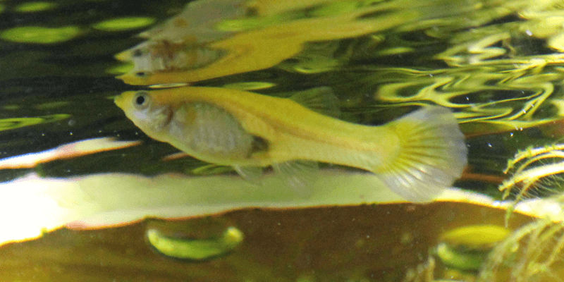 young-female-guppy